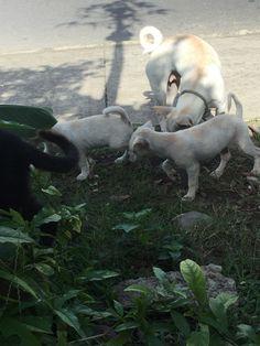 Labrador Retriever, Dogs, Animals, Pets, Labrador Retrievers, Animales, Animaux, Pet Dogs, Doggies