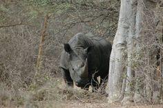 #Rhinocéros, #Serengeti