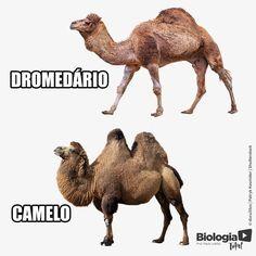 """DROMEDÁRIO OU CAMELO?    Tanto camelos como dromedários são mamíferos representantes da família """"Camelidae"""". O camelo, """"Camelus bactrianus"""", possui 2 corcovas, está presente na Ásia, tem pernas curtas e um pelo comprido, que o protege do frio. Já o dromedário, """"Camelus dromedarius"""", possui apenas 1 corcova, tem pernas longas e pelos curtos que os ajudam a tolerar o calor dos desertos."""