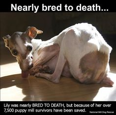 Sadly, in puppy mills this is common. Lily was the inspiration behind National Mill Dog Rescue and because of her more then puppy mill dogs have been saved. Buy Puppies, Dogs And Puppies, Big Dogs, Doggies, Save Animals, Animals And Pets, Rescue Dogs, Animal Rescue, Pet News