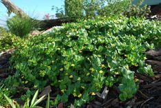 Goodenia Edna Walling Coverup --- For more Australian native plants visit austraflora.com