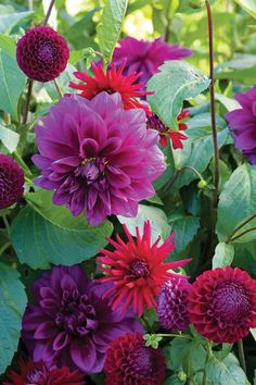 Dahlias - One of the most useful home grown flowers for arranging.  A definite 4****