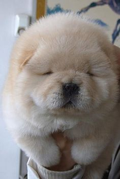 its so Fluffy! i love chow chows!!