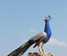 OOAK Miniature Realistic Peacock 1/12 scale