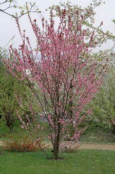 Prunus ×amygdalo-persica 'Spring Glow'