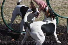 Pilot and Traveler, 7 month old Rat Terrier siblings  http://facebook.com/vendageratterriers  http://vendageratters.com