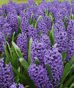 Cottage Farms Direct Peter Stuyvesant Hyacinth Bulb Set Of Five Colorful Flowerspurple