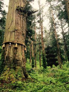 爺杉、五重塔(出羽三山神社)Okina cedar,Gozyunoto,Dewasanzan,Tsuruoka,Yamagata,Japan