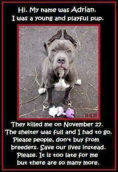 Hi. My name was Adrian. I was a young and playful pup. They killed me on November 27. The shelter was full and I had to go. Please people, don't buy from breeders. Save our lives instead. Please. It is too late for me, but there are so many more.