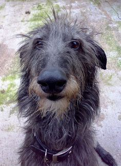 bedlington whippet cross lurcher x4 brindle - Google Search
