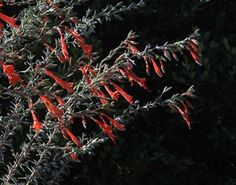#FridayFlowers: the long hot days of summer are when California fuchsia responds with joy. She loves the heat, the sun, the hummingbirds and bees. And we love her right back. #Epilobium canum canum. Looks better if you water some once established. Many good varieties ranging from silvery to fresh green foliage; almost a ground cover to tall arching stems. #cultivatingplace #californianativeplants #gardenlife #gardenstories #growwhatyoulove. From cultivating_place on Instagram.