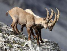 Over to the edge! - BOVID - ALPINE IBEX -  STELVIO NATIONAL PARK - ITALY
