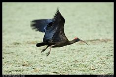Black Ibis   Endless Wildlife
