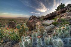 desert blooms | The Desert in Bloom, Joshua Tree National Park, California | Sean ...