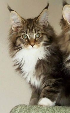 Shorthair Cat Breeds another Maine Coon kitten! looks like my Layla - Spoil your kitty at another Maine Coon kitten! looks like my Layla - Spoil your kitty at Pretty Cats, Beautiful Cats, Animals Beautiful, Cute Animals, Pretty Kitty, Baby Animals, Funny Animals, Cute Kittens, Cool Cats