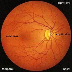 Eye Anatomy ⁄ <b>Retina</b>, Macula, Fovea, Foveola