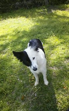 I love so much that face half black and white.  BORDER COLLIE BEAUTY.