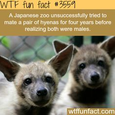 Japanese zoo tried to mate two male hyenas for four years - WTF fun facts