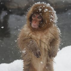 10 photos of so cute snow monkey babies.Snow Monkey Babies of the Jigokudani Monkey Park are cute any time of the year. Types Of Animals, Animals And Pets, Baby Animals, Cute Animals, Primates, Mammals, Jigokudani Monkey Park, Japanese Macaque, Japon Tokyo