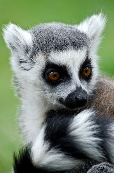 Ringtail Lemur. Lemurs are ONLY found on the island of Madagascar, next to Africa.