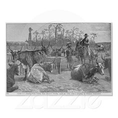 Cattle in a Kansas Corn Corral Poste