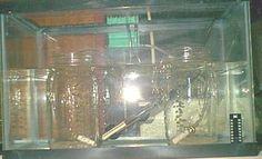 Hatching brine shrimp