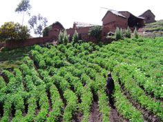 https://flic.kr/p/shRSgv   Mixture plants - Huancavelica - Peru (foto S. de Haan)