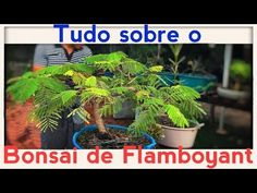 BONSAI DE FLAMBOYAT  E SEUS SEGREDOS: TUDO SOBRE - Bonsai Curso #71 (4K Ultra HD) - YouTube