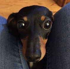 Ha. How many times have I felt a little doxie trying to get in my lap like this?