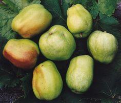 Costard apple - http://www.bernwodefruittrees.co.uk/photos/wottoncostard350.jpg