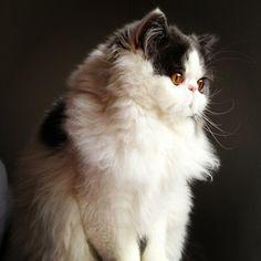 Chat -  - Fredi on www.yummypets.com Cat, cute, animals, pets, kitten, kitty, pussycat, meow, purr, Yummypets