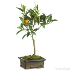 Miniature Orange Tree by The Grower's Box - A true 'living' gift that keeps on giving!
