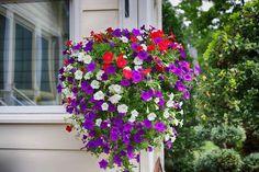 La Petunia es una de las plantas de flor más populares con la que se puede decorar el alféizar de una ventana, una cesta colgante y un macetero. Conoce cómo cuidarla y propagarla
