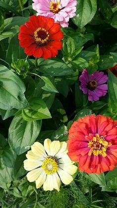 Zinnias, Flowers, Garden, Plants, Florals, Flower, Blossoms