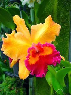 Exquisite Orchid