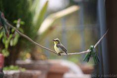 Ashy Prinia | Flickr - Photo Sharing!