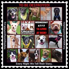 """TO BE DESTROYED 06/07/17 @ NYC ACC **SO MANY GREAT DOGS HAVE BEEN KILLED: Puppies, Throw Away Mamas, Good Family Dogs. This is a HIGH KILL """"CARE CENTER"""" w/ POOR LIVING CONDITIONS. Please Share: To rescue a Death Row Dog, Please read this: http://information.urgentpodr.org/adoption-info-and-list-of-rescues/"""