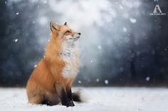 Эта лисичка очень хочет занять место котиков в интернете