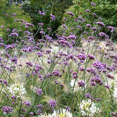 Jätteverbena, Verbena bonariensis. Sol/halvskugga, 90 cm lagom vatten, blommar juni-september. Toppa tidigt för förgrening. Perenn i zon 1.