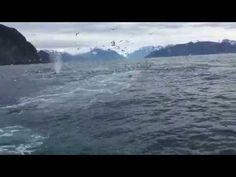 Humpback Whales Feeding - YouTube