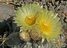 Astrophytum ornatum, cultivated