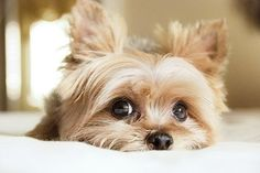 Such a cute yorkie