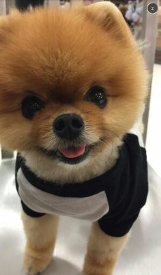 jeff the pomeranian jiff instagram jiffpom is nominated for a world dog 2542