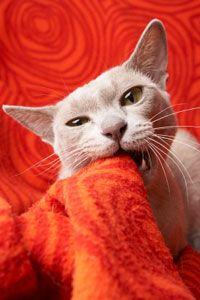 Cat Dental Health #cat #kitten