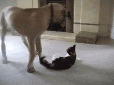 Great Dane Boxes A Kitten