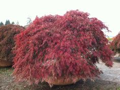 12 Best Japanese Maples Images In 2016 Acer Palmatum Japanese