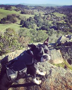"""""""Are you done with taking pictures yet? """" #bostonterrier #dogs #bostonterrierlove #bostonterrieroverload #bostonterriersofinstagram #lovemydog #dogsofinstagram #dogslovewhistle #dogsonadventures #adventuredog #adventurewithdogs #hikingwithdogs #hikingwithmydog #ruffwear #optoutside #campingwithdogs #backcountrypaws #hikingdogsofinstagram by roserl"""
