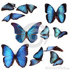 Borboletas azuis do morpho