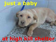 LOGAN - ID #A477339 (MUST EXIT ON 1/7) I am a male, brown Labrador Retriever mix. Shelter staff think I am about 8 weeks old. I have been at the shelter since Dec 27, 2014. If I am not claimed, after my stray holding period, I may be available for adoption on Jan 07, 2015. call: San Bernardino City Animal Control at (909) 384-1304 https://www.facebook.com/photo.php?fbid=10202721611155295&set=a.3186215868195.111836.1649756531&type=1