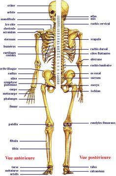 Planche 1. Le squelette humain. (source: Boutillier et Outrequin 2004)